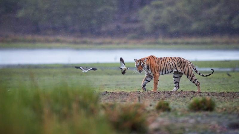 Bengal tiger walking in plain grass fields