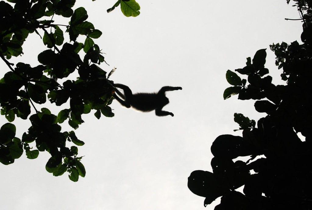 Monkeys swinging across trees at Bako National Park