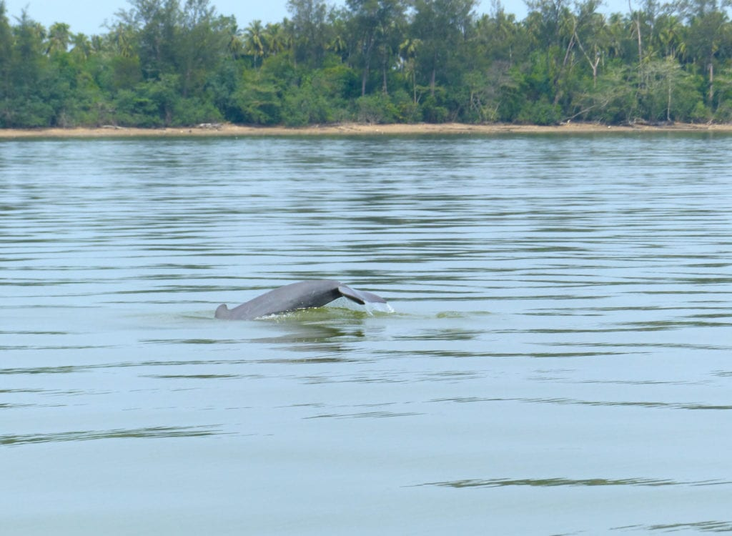 Tail of dolphin in estuary river with trees backdrop