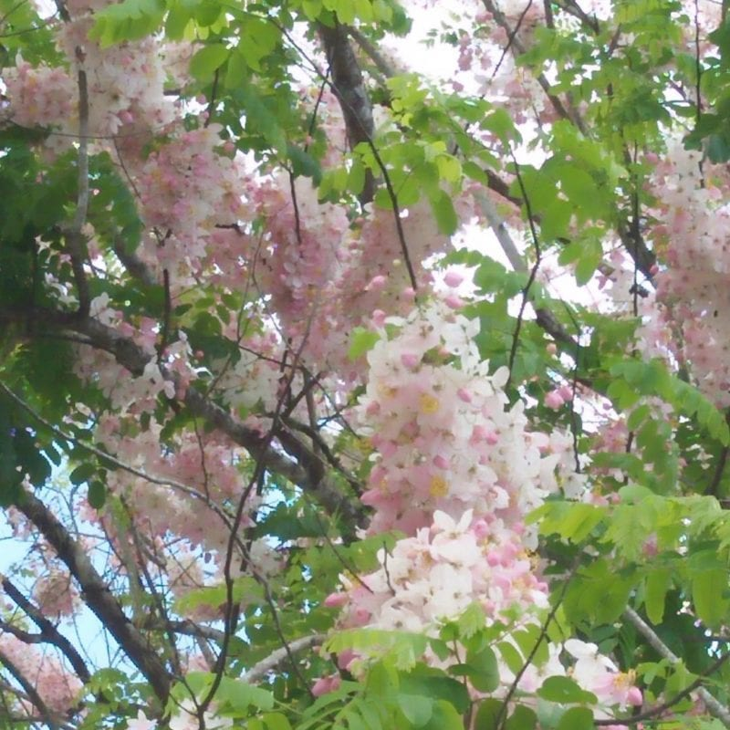 Balayong blossoms