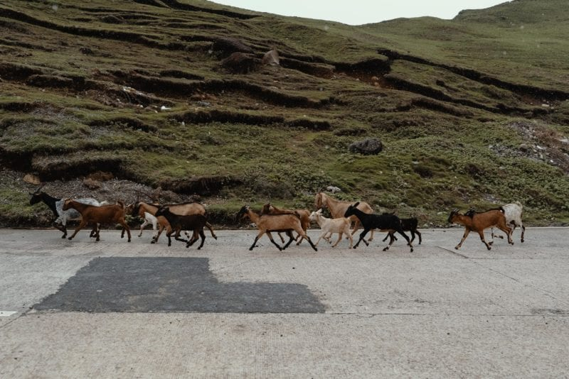 family of goats on road past the hills