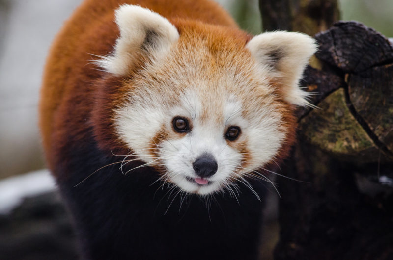 Red panda with cute face
