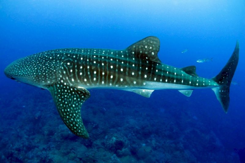 Spotted whale shark in blue waters