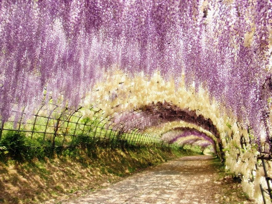 wisteria tunnel japan