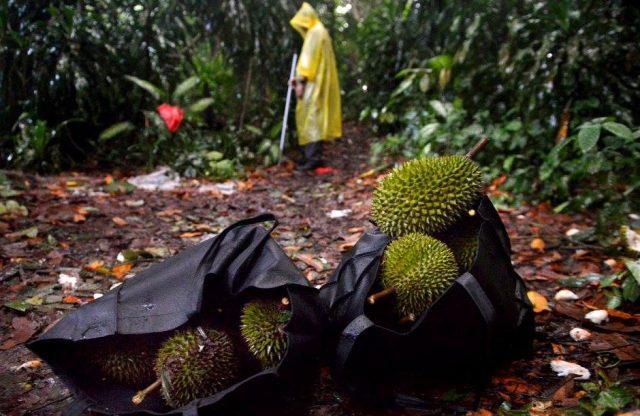 Picking Durian