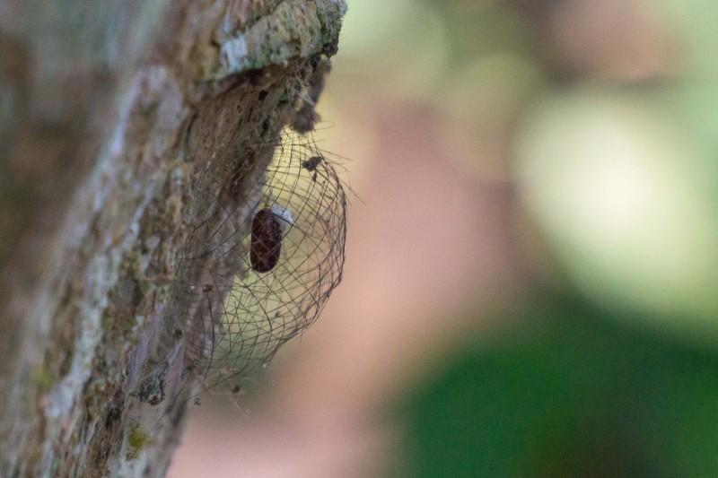 Pupa of an arctiine moth.