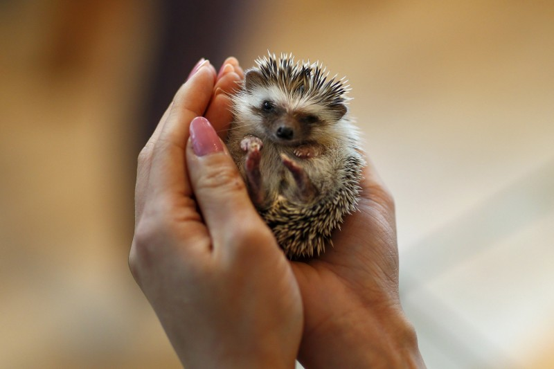 """A woman holds a hedgehog at the Harry hedgehog cafe in Tokyo, Japan, April 5, 2016. In a new animal-themed cafe, 20 to 30 hedgehogs of different breeds scrabble and snooze in glass tanks in Tokyo's Roppongi entertainment district. Customers have been queuing to play with the prickly mammals, which have long been sold in Japan as pets. The cafe's name Harry alludes to the Japanese word for hedgehog, harinezumi. REUTERS/Thomas Peter SEARCH """"HEDGEHOG THOMAS"""" FOR THIS STORY. SEARCH """"THE WIDER IMAGE"""" FOR ALL STORIES TPX IMAGES OF THE DAY"""