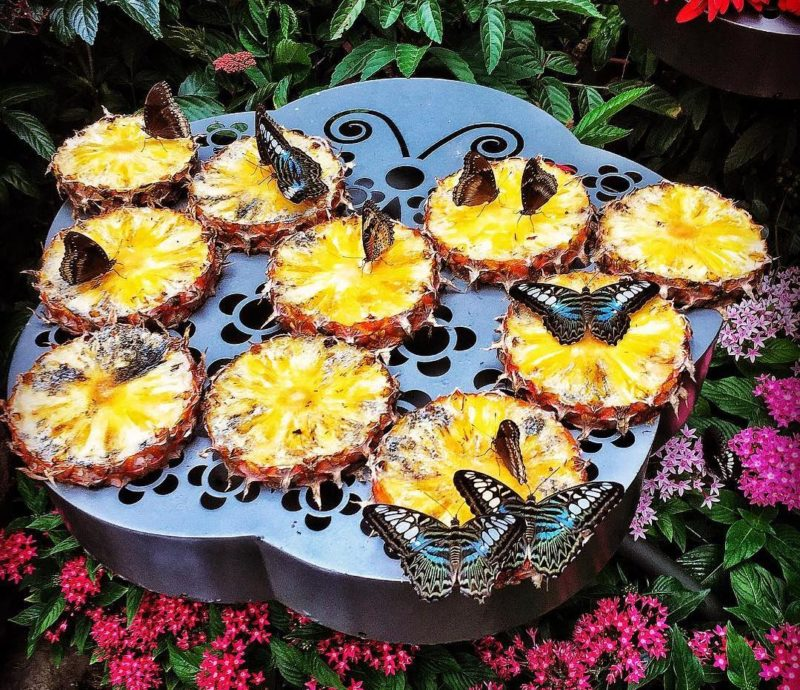 Butterflies on Pineapple Slices With Honey at Changi Airport Butterfly Garden