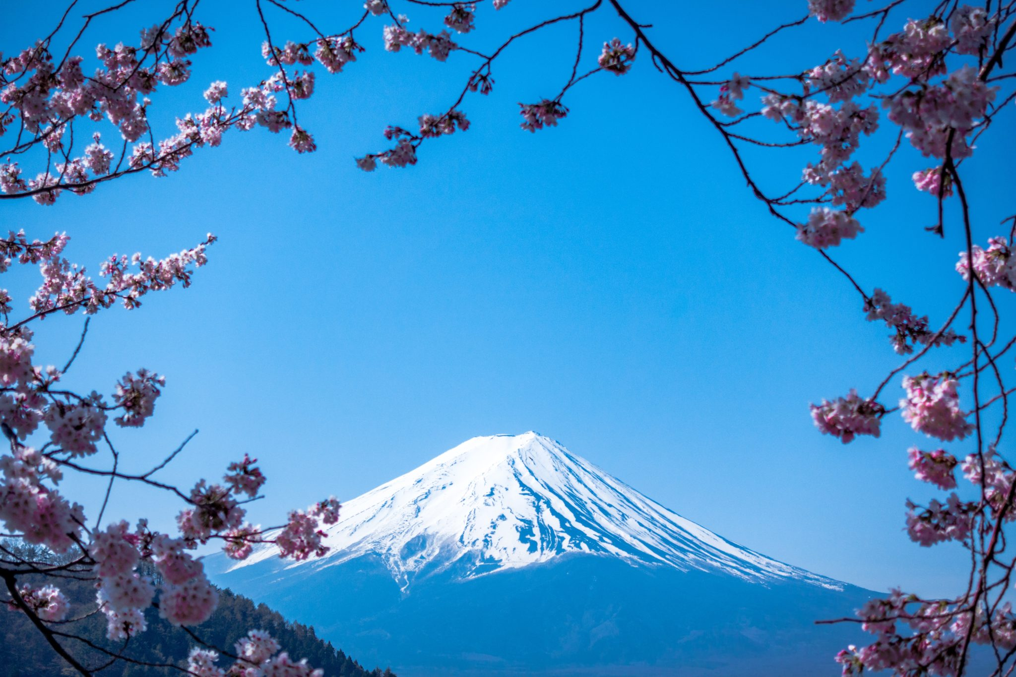 Sakura trees framing mount fuji