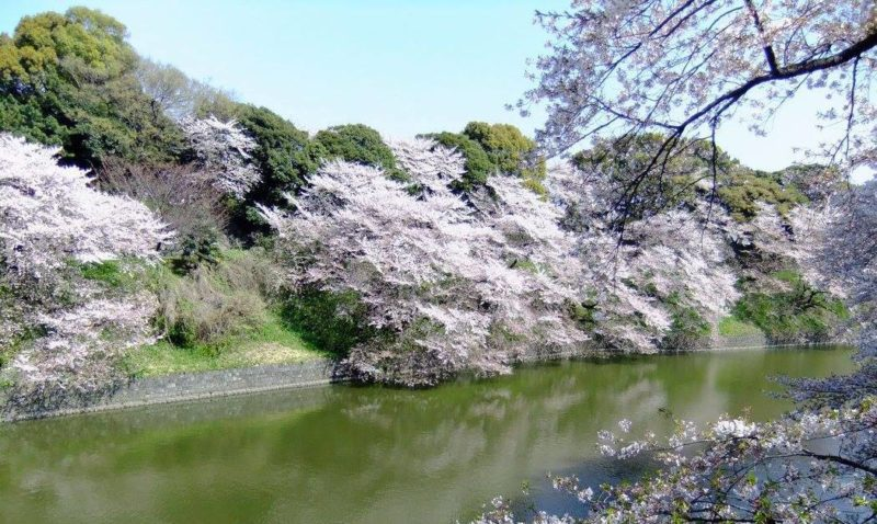 Cherry blossoms by the moat in Chidorigafuchi