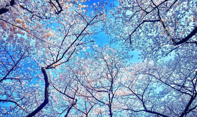 Cherry blossoms viewed from the bottom upwards with the blue skies in the background in Shinjuku Gyoen