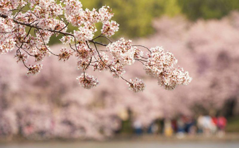 Pink cherry blossoms at Washingdon DC