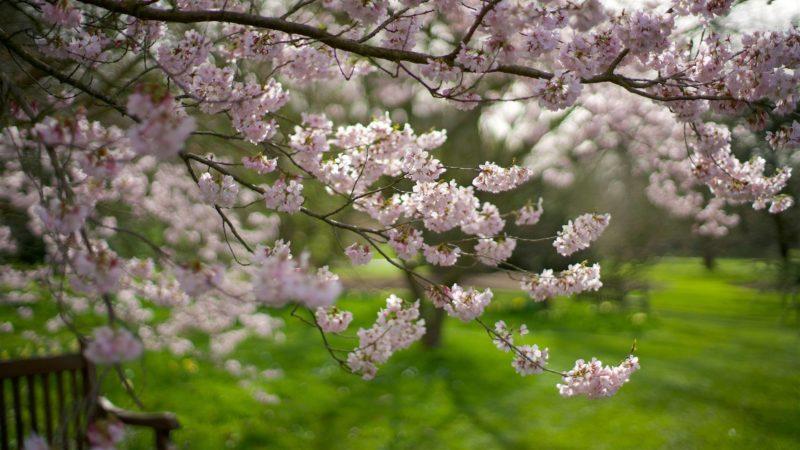 Cherry blossom branch in Kew Gardens