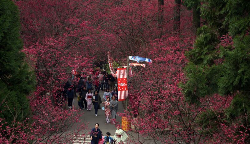 Cherry Blossoms in a vibrant pink-red hue lining up by the sides of the roads of the Formosan Aboriginal Culture Village