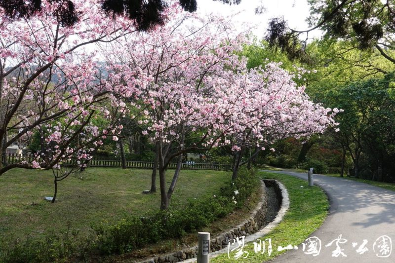 Yangmingshan park with sakura flowers