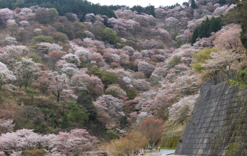 Blooming Cherry Blossoms in White and Pinks along the Upper Senbon, Mount Yoshino