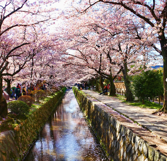 Philosopher's path in Kyoto during cherry blossom season, with people admiring the view