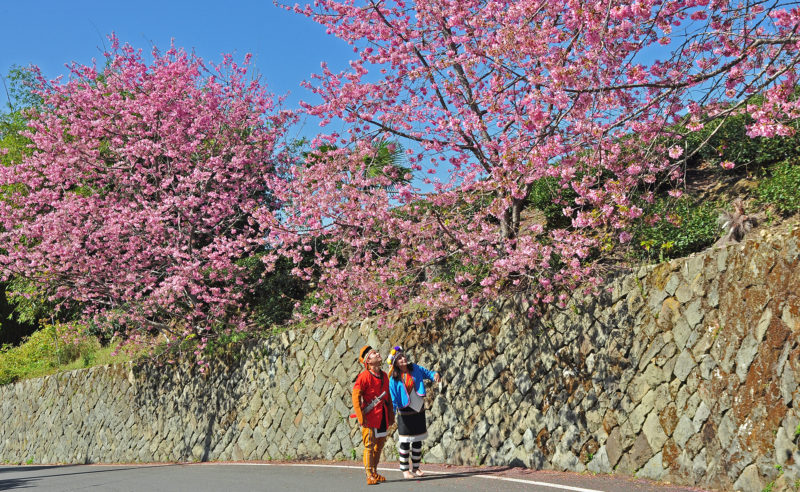 Aboriginal couple viewing the cherry blossoms on Alishan