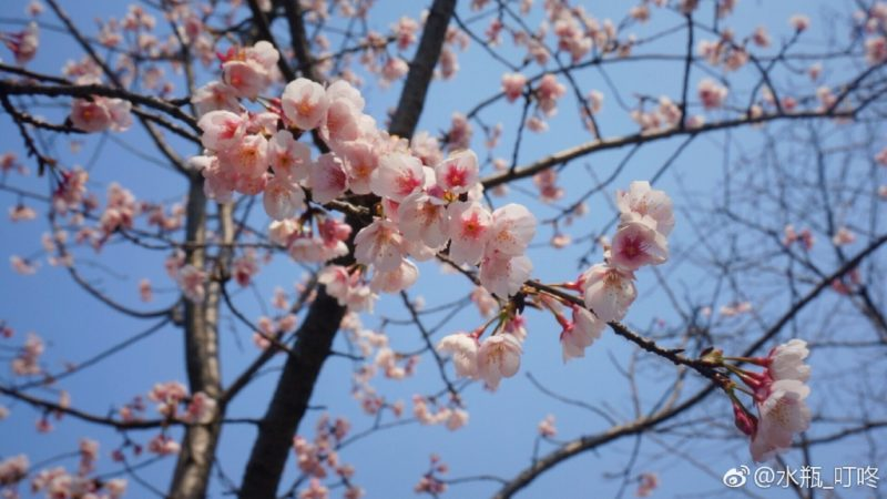 Cherry blossoms blooming from the tree in Shanghai Botanic Gardens