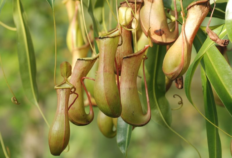 Pitcher plants in the wild on Mount Kinabalu