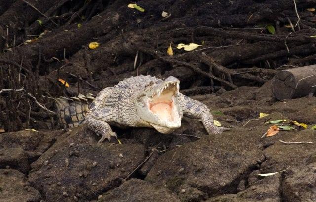 crocodile in sungei buloh