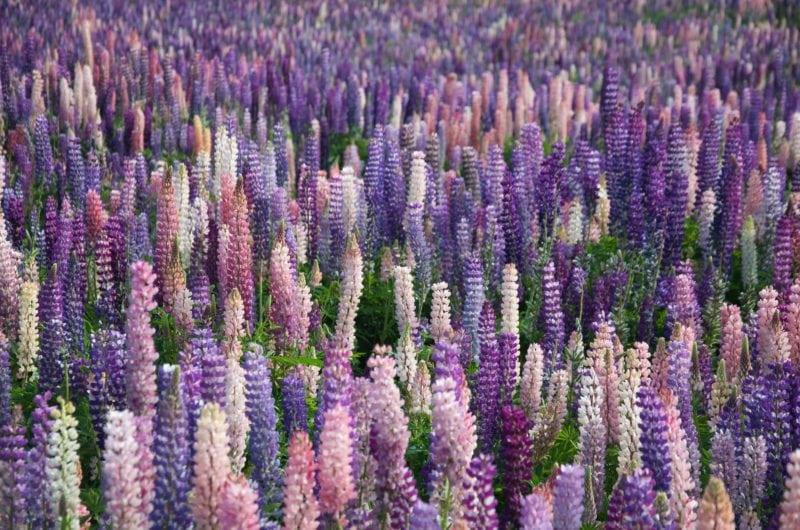 lavender flowers in hokkaido in japan during summer