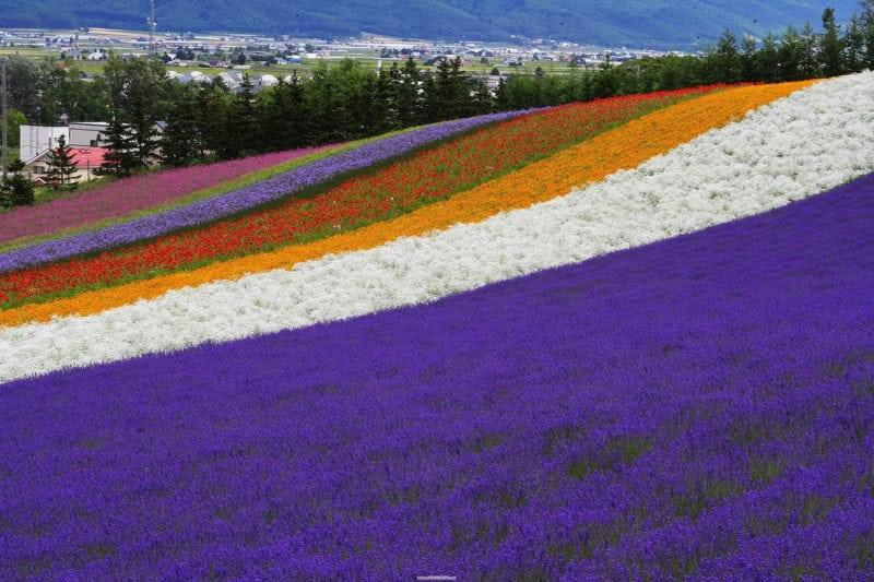 Blooming Lavender and flower fields during summer in Hokkaido, japan