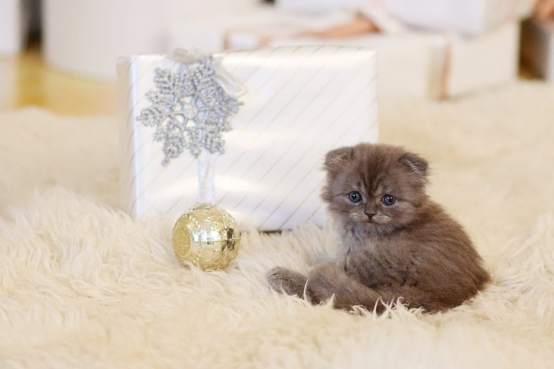 grey kitty on white gift background