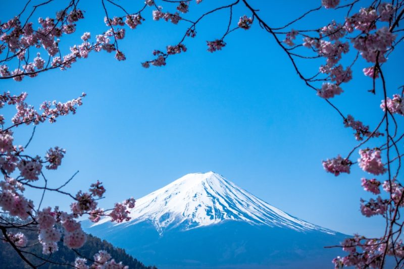 shallow focus of cherry blossoms with Mount Fuji in the distance