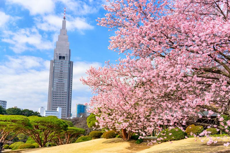 urban Tokyo city with cherry blossoms at Shinjuku in Tokyo, Japan