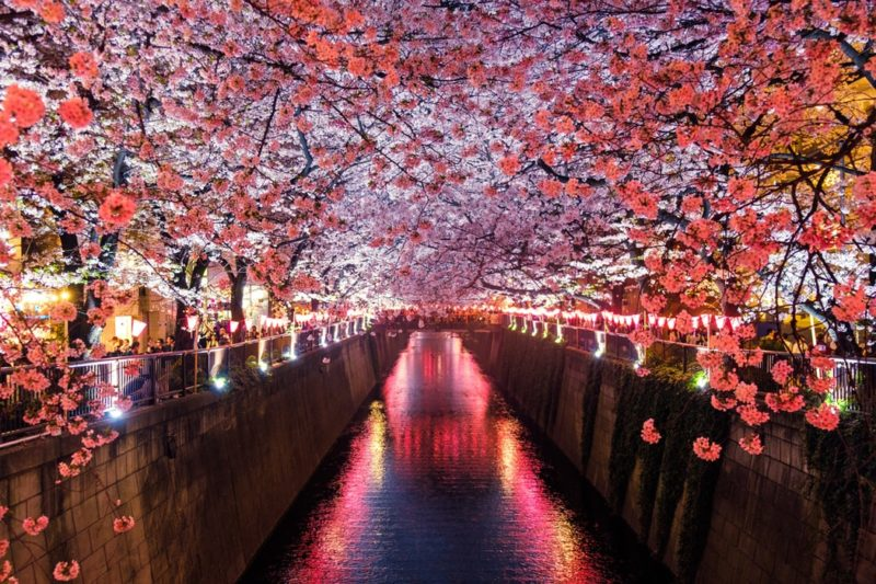 cherry blossoms along the Meguro river at night