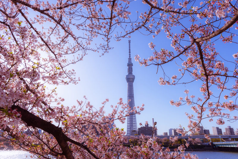 Tokyo Skytree in the distance with cherry blossoms at Sumida Park