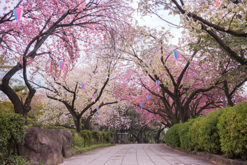 Cherry blossoms in different shades of pink at Asukayama park in Tokyo
