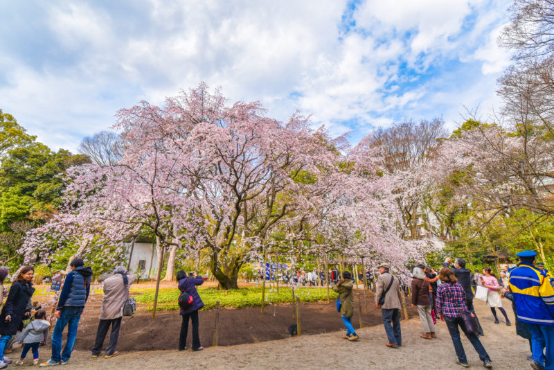 cherry blossoms in Rikugien Gardens, Tokyo, Japan