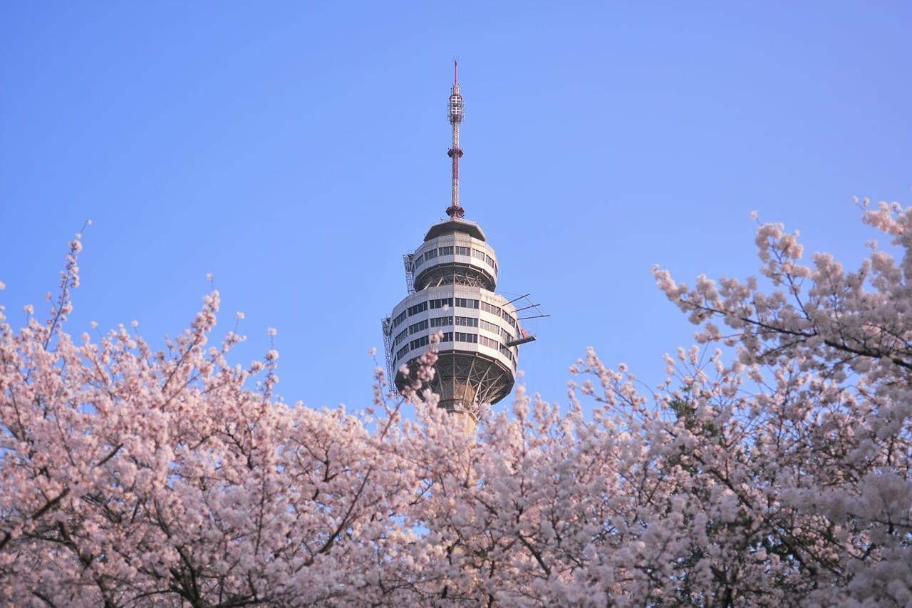 daegu cherry blossom