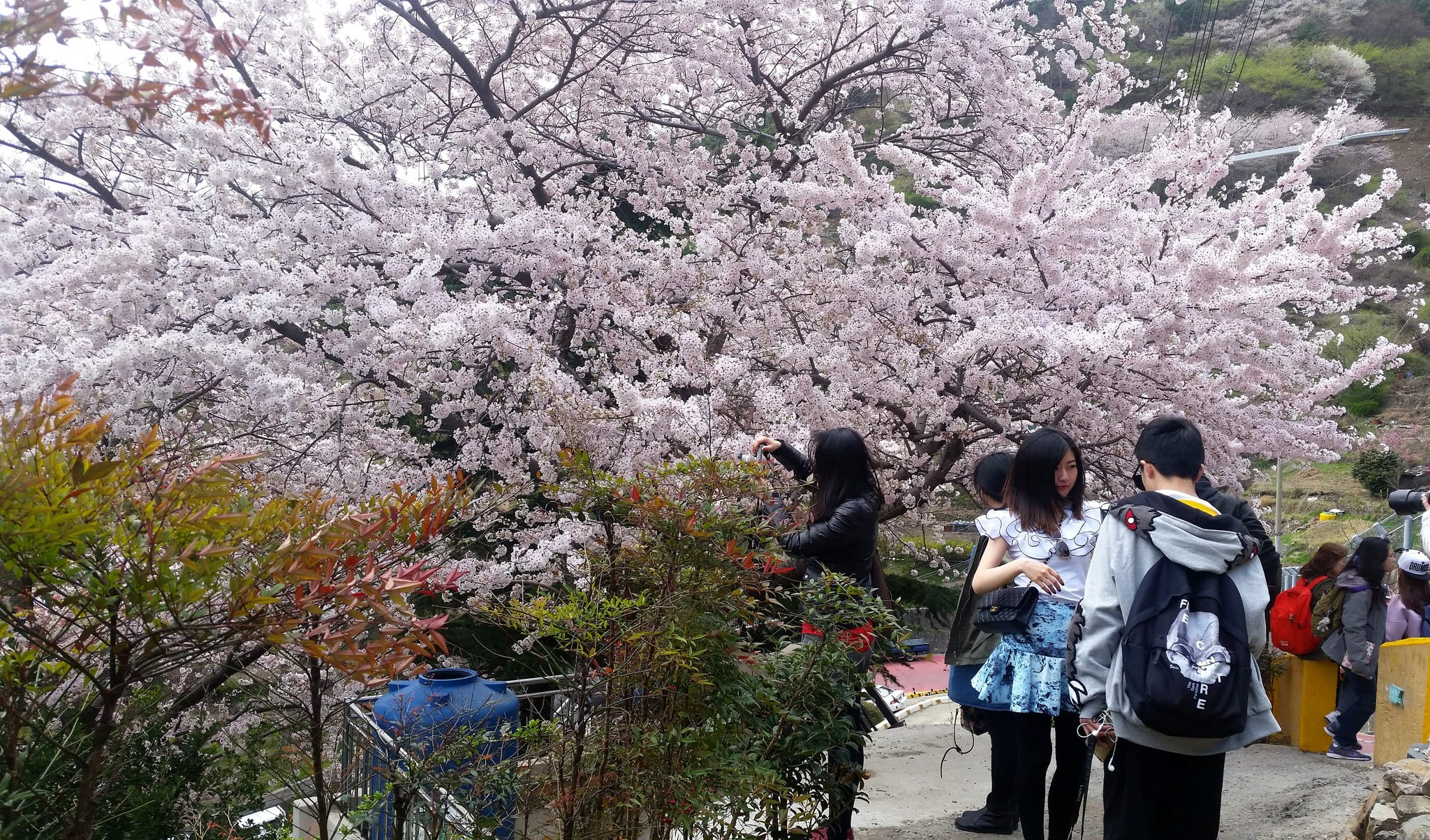 Gamcheon Culture Village busan cherry blossom