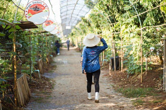 สวนผลไม้บุฟเฟ่ต์ Maple Gardens – สวนเมเปิ้ล