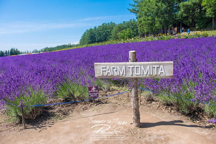 เที่ยวญี่ปุ่นหน้าร้อน Tomita Farm ทุ่งลาเวนเดอร์ 1
