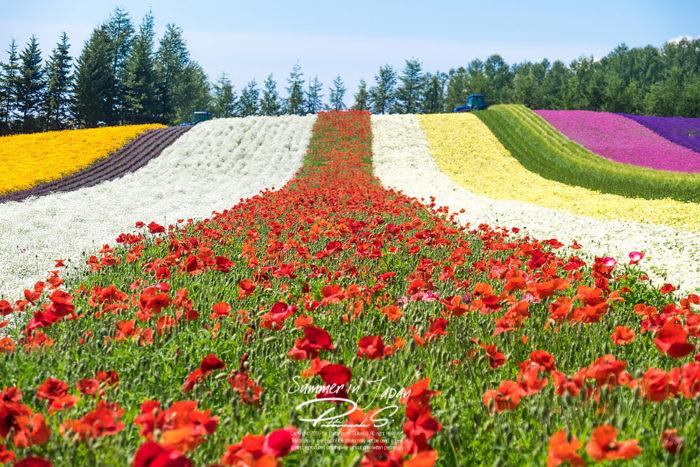 เที่ยวญี่ปุ่นหน้าร้อน Tomita Farm ทุ่งดอกไม้สีรุ้ง