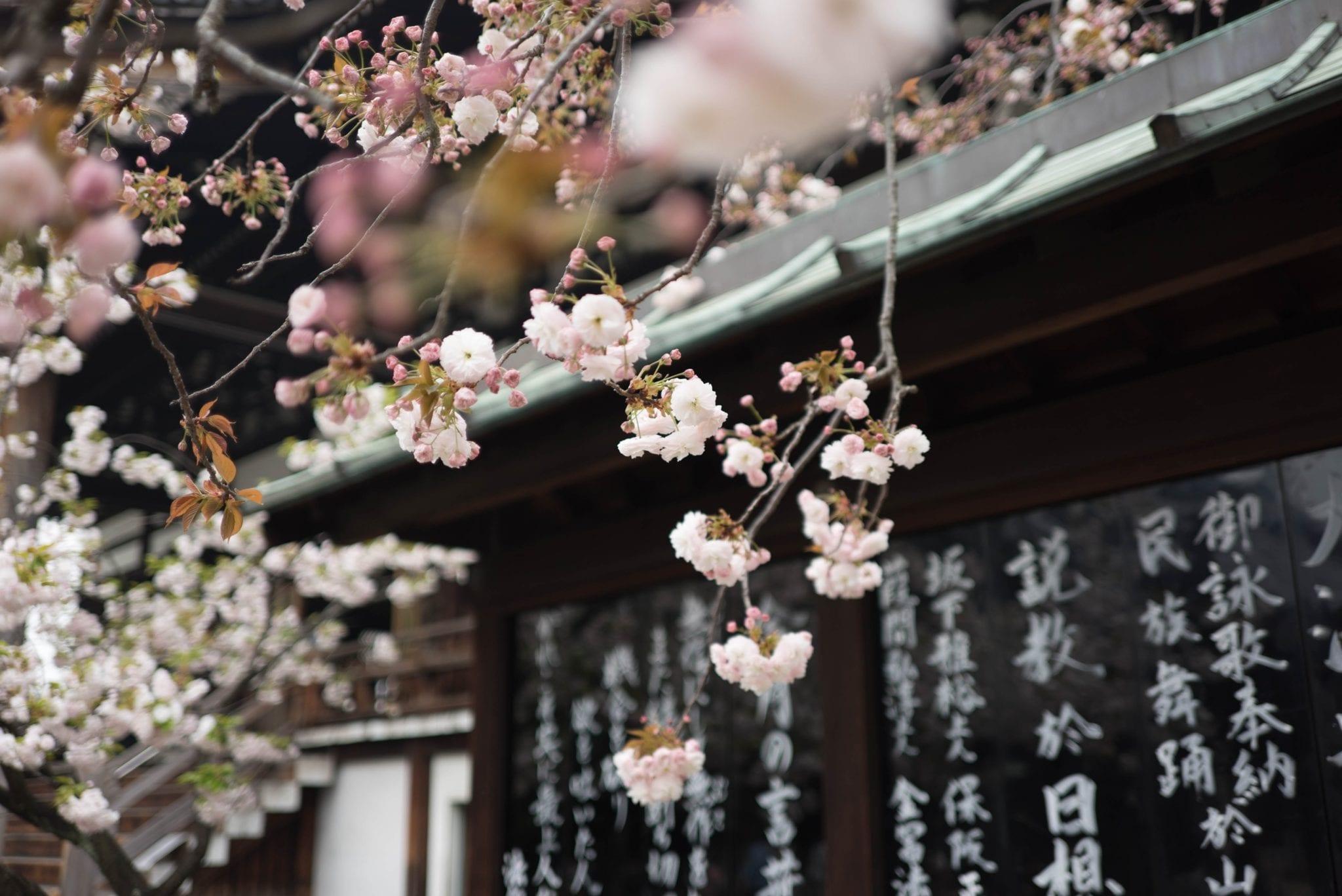 ฤดูใบไม้ผลิ ญี่ปุ่น เที่ยวญี่ปุ่น ซากุระ ฤดูในญี่ปุ่น