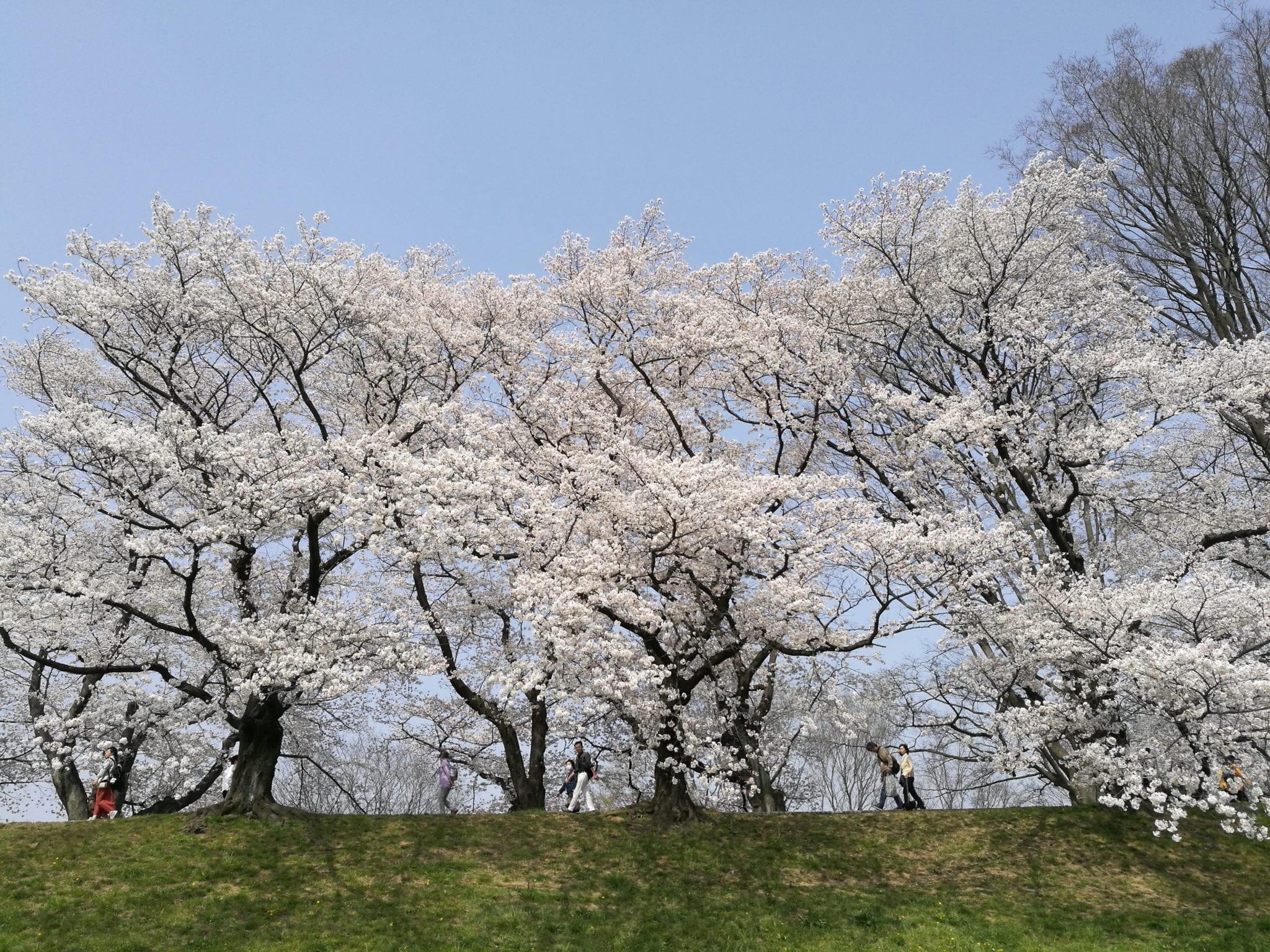 ซากุระ ญี่ปุ่น เที่ยวญี่ปุ่น เที่ยวโอซาก้า ที่เที่ยวเกียวโต