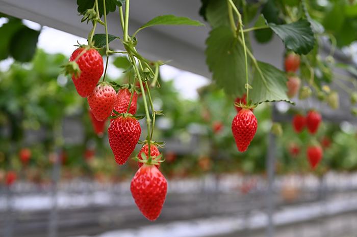 mishima-skywalk_strawberry2