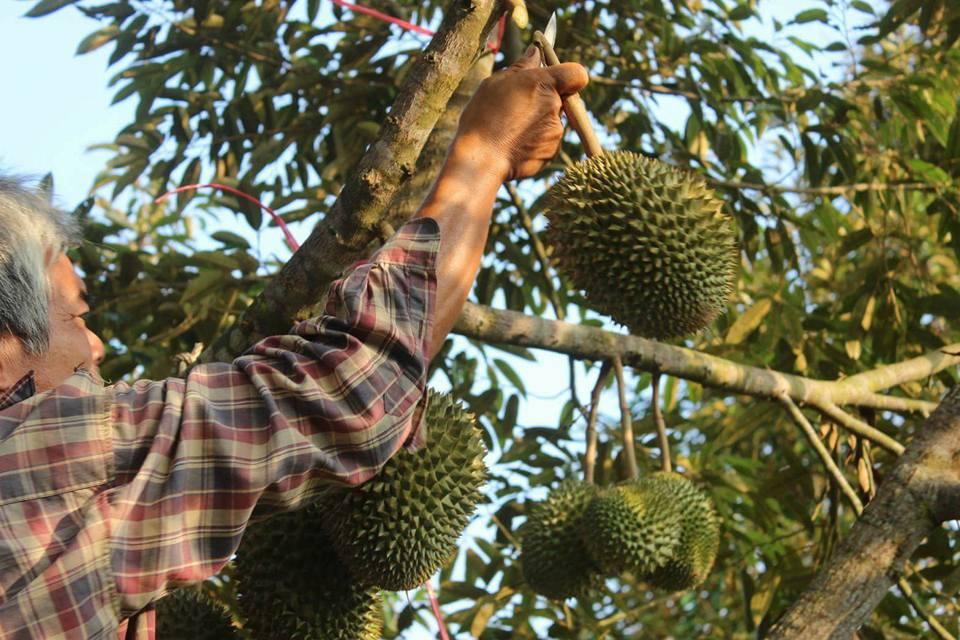 ที่เที่ยวจันทบุรี เที่ยวจันทบุรี เทศกาลผลไม้ เทศกาลผลไม้ จันทบุรี