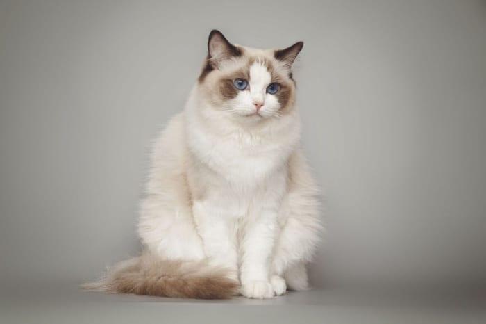 แมวที่น่ารักที่สุด, แมวพันธุ์น่ารักๆ