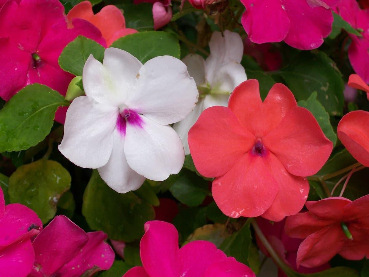 ไม้ดอกปลูกง่าย,ไม้ดอกในร่มปลูกง่าย