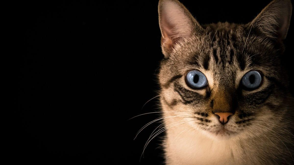 การมองเห็นของแมวเป็นยังไง ? ต่างจากของคนยังไงบ้าง เรื่องนี้ทาสต้องรู้ !