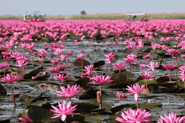 สวนดอกไม้สีชมพู,ชื่อดอกไม้สีชมพูสวยๆ แปลกๆ