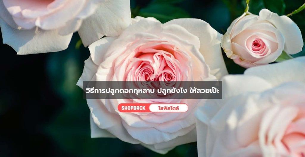 วิธีการปลูกดอกกุหลาบ, วิธีการปลูกกุหลาบ