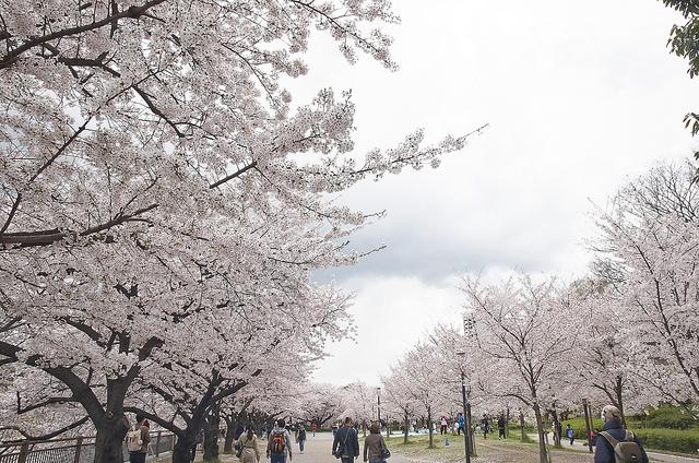 日本賞櫻大阪大阪城公園