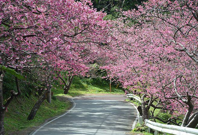八重岳櫻之森公園